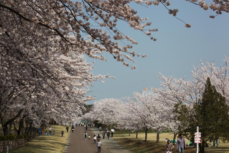 八戸公園満開のさくら07