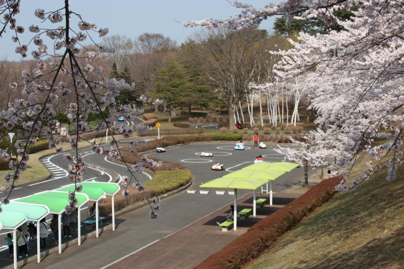 八戸公園満開のさくら10