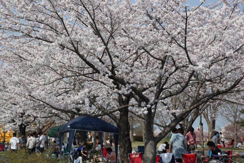 八戸公園満開のさくら01