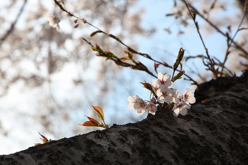 2014年春のむつ市早掛沼公園04