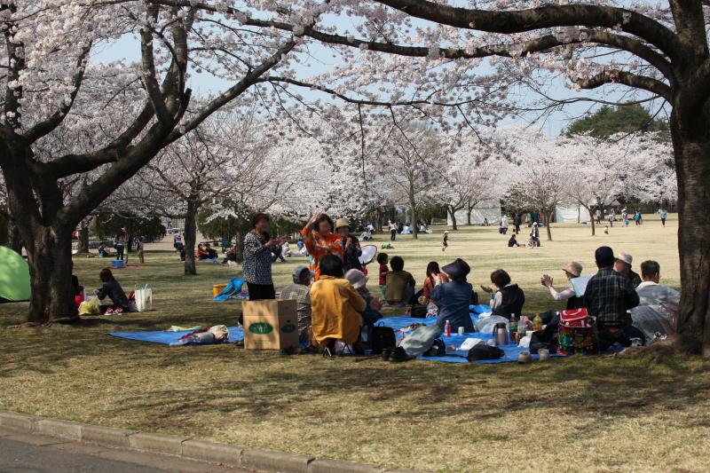 八戸公園満開のさくら05