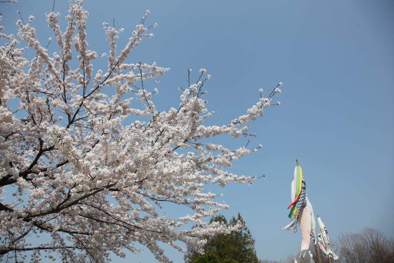 八戸公園満開のさくら02