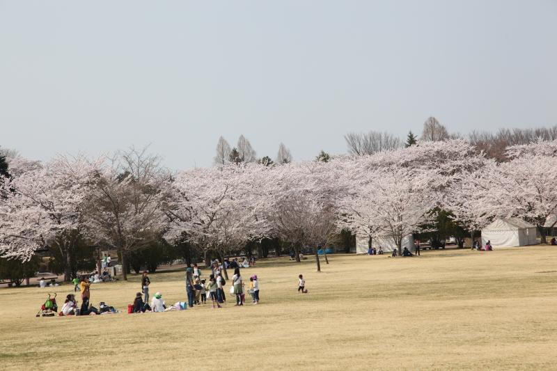 八戸公園満開のさくら03