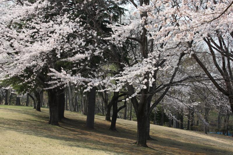 八戸公園満開のさくら09